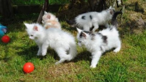 maine coon kittens  kittens for adoption