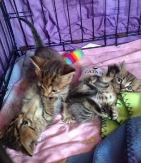 Charming savannah F1 and F2 kittens for a good home