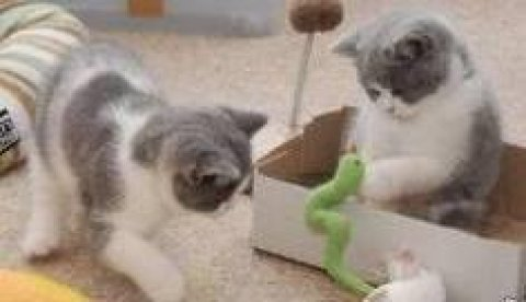 british shorthair kittens for adoption male and female