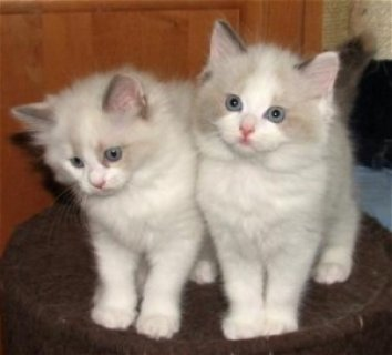 Excellent Ragdoll Kittens Available For Any Good Homes///////