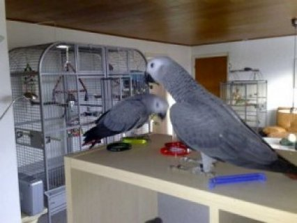 صور Red Congo African Grey Parrots Available 22 1