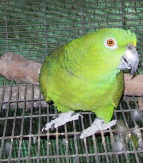 Available baby parrots for sale