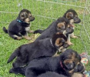 Awesome Male and female german shepherd   puppies available
