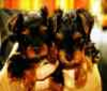 Excellent Male And Female Yorkie Puppies For REHOMMING
