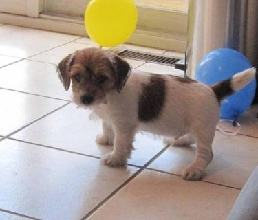 Jack Russel Puppies For Sale,,,,