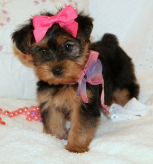 Adorable yorkie puppies for sale..//////