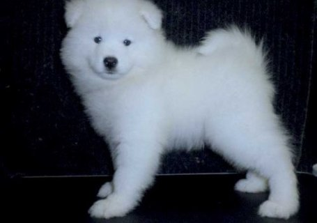 Wow!! all white Samoyed Puppies ready..