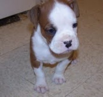 very beautifull and cute boxer puppies for adoption,,,,