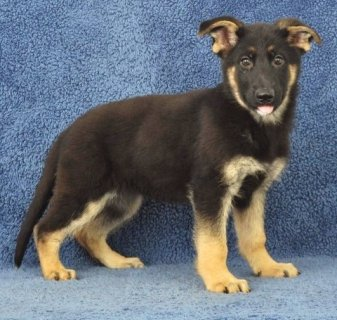 German Shepherd Puppies for sale.,,,,,,,,,,,,,,,,,,,,,,,,,,