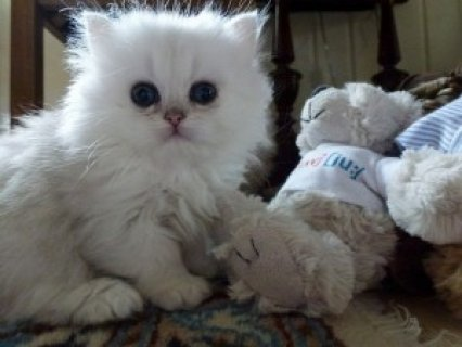 Cute Persian Kittens Available for adoption,,,,,