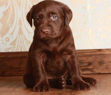Cute chocolate labrador puppies for sale