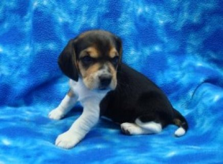 Beautiful Beagle Puppies for adoption,