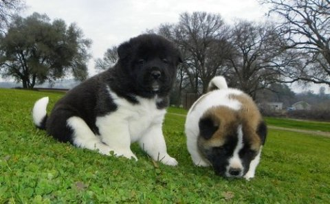 sweet akita puppies for adoption