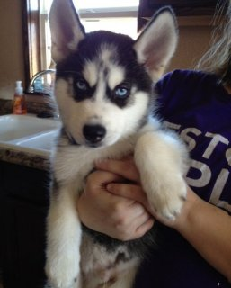 Blue Eyes Siberian Husky Puppies For Re-Homing