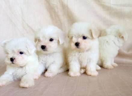 looking for Maltese for adoption