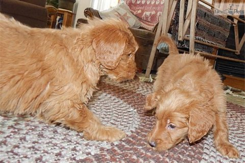 male and female golden doodle puppies
