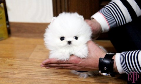 Baby Cotton Tiny Pomeranian For Sale