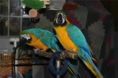 Two Blue and Gold Macaws for sale