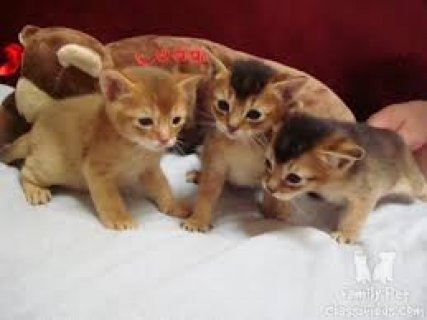 Beautiful male and female Abyssinian kittens ready for sale