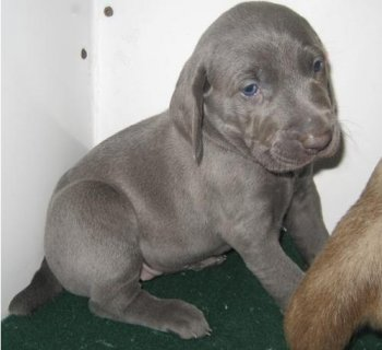Weimaraner puppies for sale.