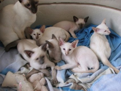 `Gorgeous George Siamese Kittens For sale