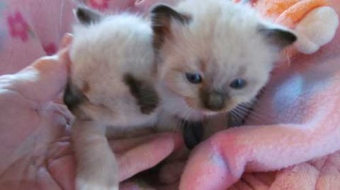 Beautiful Blue Point Baby Boy Himalayan Persian Kitten