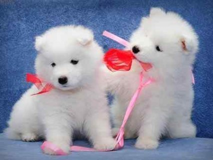 Samoyed puppies for good homes..,