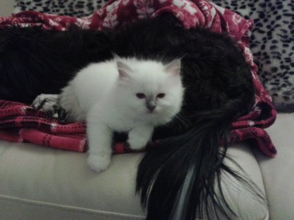Bueatiful Birman 2Kittens Available For Sell