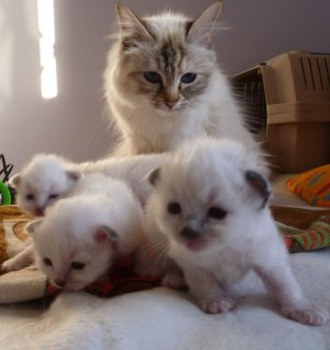 2 Seal Point Birman kittens For Sell