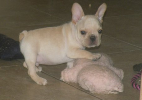 Available Akc French Bulldog Puppies Now