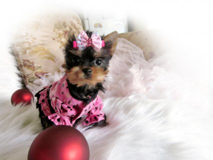 2 nice yorkie puppies available Now