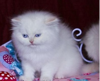 صور Good Face White Persian Female Kitten For Sell 1
