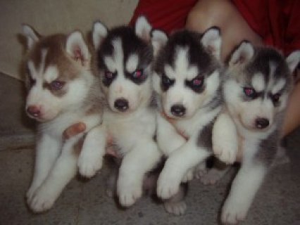 Male and Female Siberian Husky Puppies For Adoption