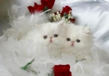 Persian Brother and Sister Available For Sell
