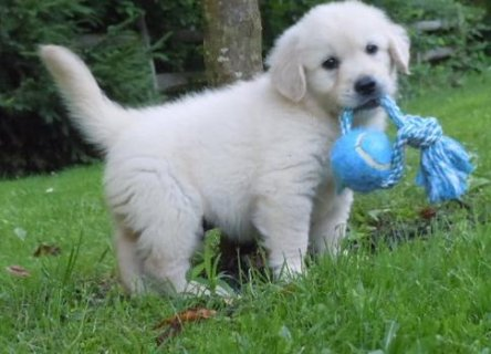 Purebred Golden Retriever Puppies ww234567222