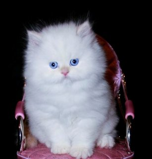 Cute Persian Kittens Available 333333333333