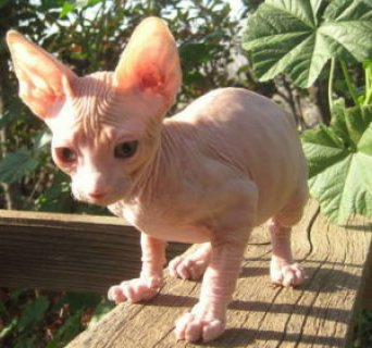 Sphynx Kittens ready for Adoption654321