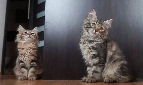 Siberian Kittens Available FOR ADOPTION23456789765