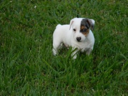Jack Russel Terrier Mix Pups