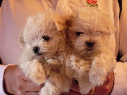 Beautiful white Maltese Puppies Available for sale