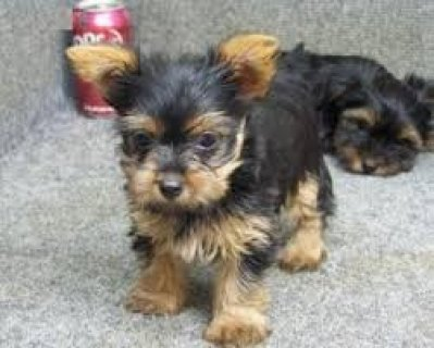 Adorable Yorkie Teacup Size Puppy
