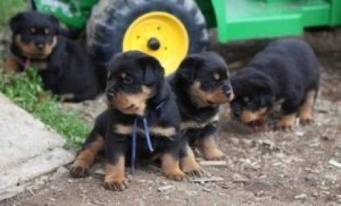 On board 10 pure bread Rottweiler pups