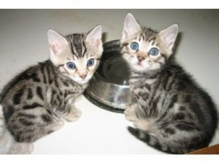 Home Trained Male And female bengal kittens