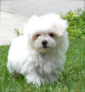 Maltese puppies ready