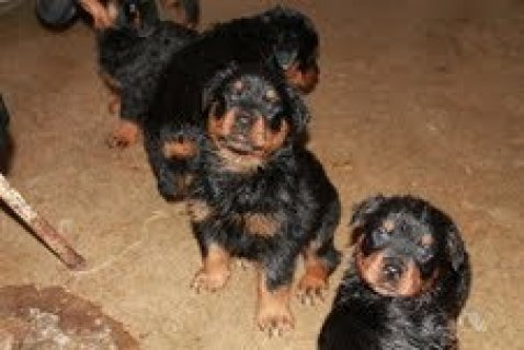 Pure German Rotteiler Pups