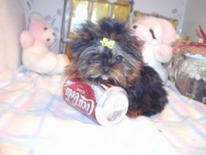 صور Tiny Teacup Yorkie 1