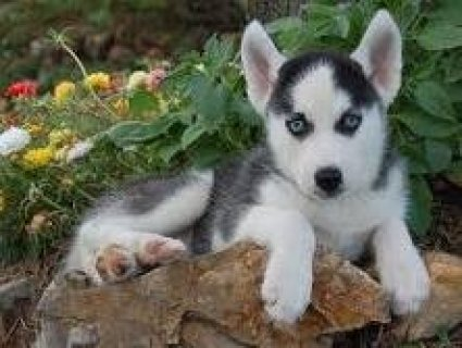 Precious Black and White Siberian Husky