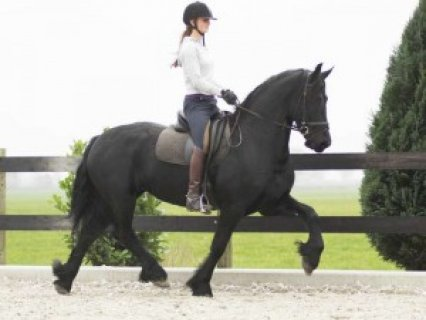 Friesian Gelding Horse for Sale..