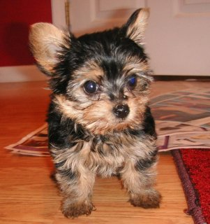 Beautifull teacup yorkie puppy for adoption