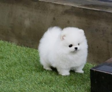 Friendly male and female Teacup Pomeranian Puppies sale